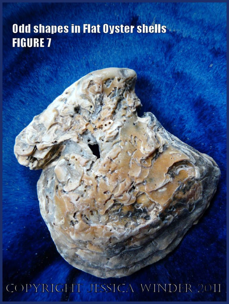 P1030442Blog7 Irregular shaped European Flat Oyster or British Native Oyster shell (Ostrea edulis Linnaeus) Figure 7 Outer surface
