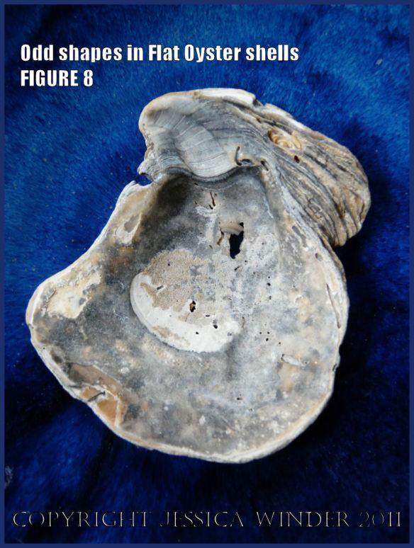 P1030444Blog8 Irregular shaped European Flat Oyster or British Native Oyster shell (Ostrea edulis Linnaeus) Figure 8 Inner surface