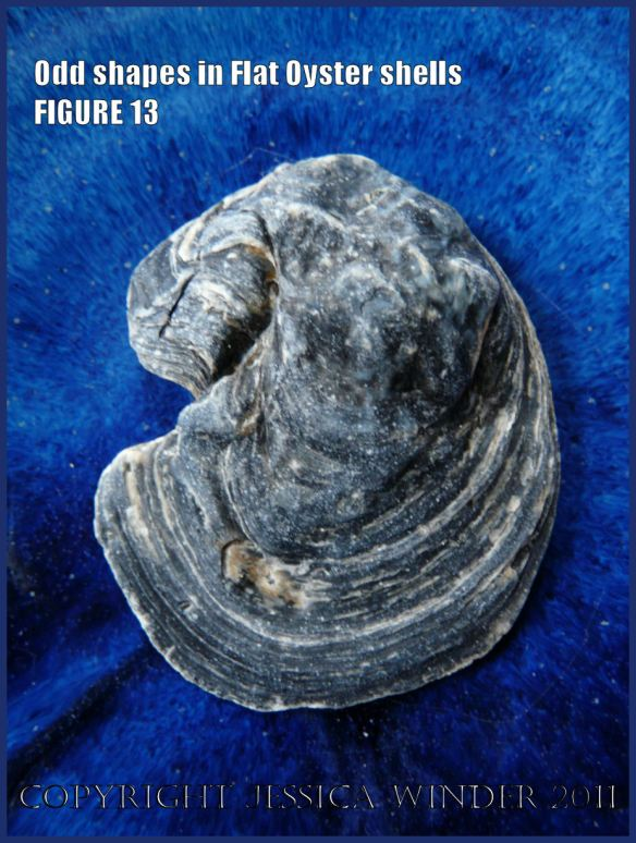 P1030454Blog13 Irregular shaped European Flat Oyster or British Native Oyster shell (Ostrea edulis Linnaeus) Figure 13 Exterior surface