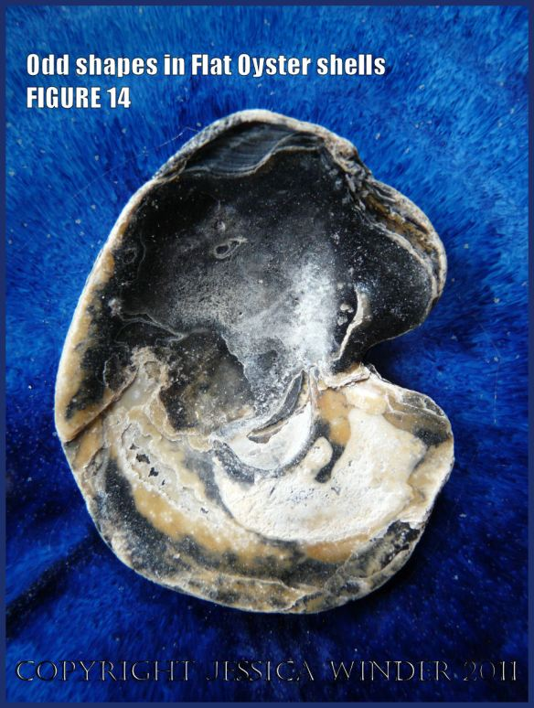 P1030458Blog14 Irregular shaped European Flat Oyster or British Native Oyster shell (Ostrea edulis Linnaeus) Figure 14 Interior surface