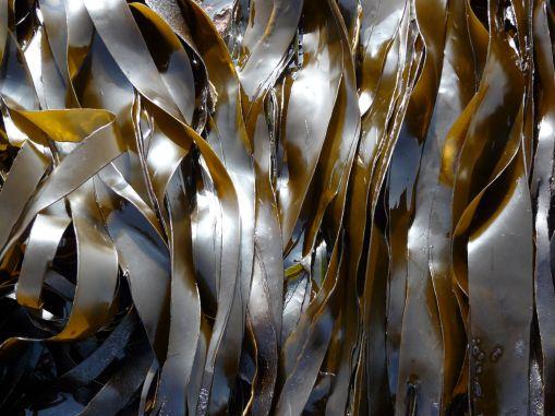 Satin-textured olive-brown blades of kelp (Laminaria digitata) at Ringstead Bay, Dorset, UK - part of the Jurassic Coast (2)