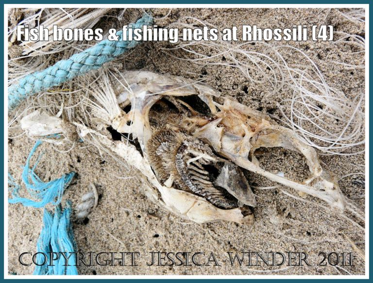 Fish skeleton on the beach: Dead fish skull showing gills, entangled in fishing net, half buried in the sand on the strandline at Rhossili Bay, Gower, South Wales, UK (4)