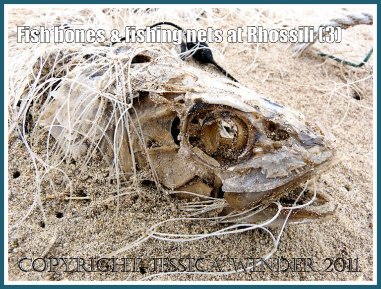 Fish bones on the beach: Dead fish head entangled in fishing net, half buried in the sand on the strandline at Rhossili Bay, Gower, South Wales, UK (3)