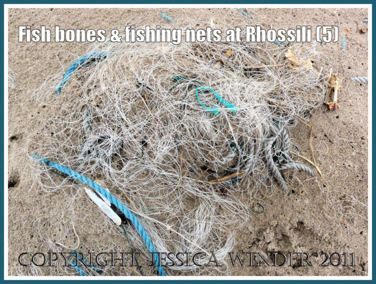 Fish skeleton in fishing net: Nylon monofilament fishing net with fish skeletons protruding from the sand on the beach at Rhossili Bay, Gower, South Wales, UK (5)