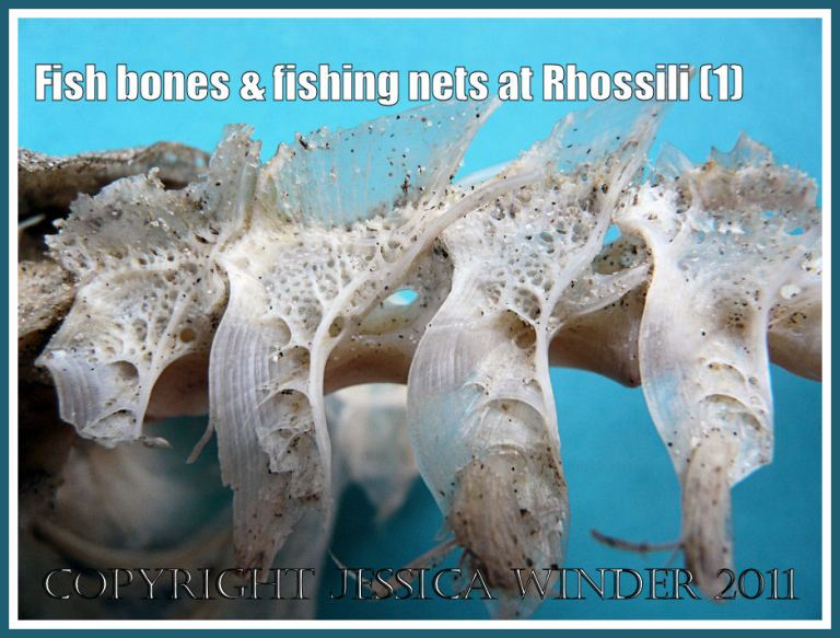 Fish bones: Delicate tracery of fish vertebrae found on the strandline at Rhossili, Gower, South Wales (1)