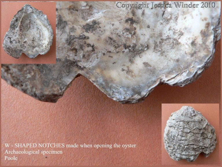 P1090235Blog1 Notches on the edge of a British Native Oyster shell (Ostrea edulis Linnaeus) from an archaeological excavation in UK - made by a knife in historic times when the oyster was opened (1)