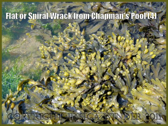 Picture of seaweeds: Closer view of Flat Wrack and other Fucoid seaweeds on a rock platform at Chapmans Pool, Dorset, UK - part of the Jurassic Coast (P1100259aBlog4)