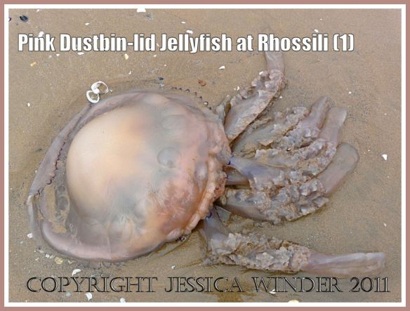 Jellyfish on Rhossili beach: Pink Dustbin-lid Jellyfish, Rhizostoma octopus (Linnaeus), on the strandline at Rhossili, Gower, South Wales, June 2009, upper surface (1)