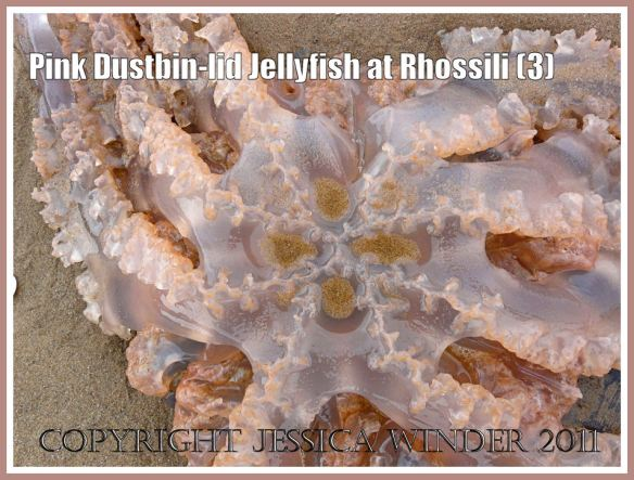Rhizostoma octopus (Linnaeus): Pink Dustbin-lid Jellyfish, Rhizostoma octopus (Linnaeus), on the strandline at Rhossili, Gower, South Wales, June 2009, closer view of the under surface (3)