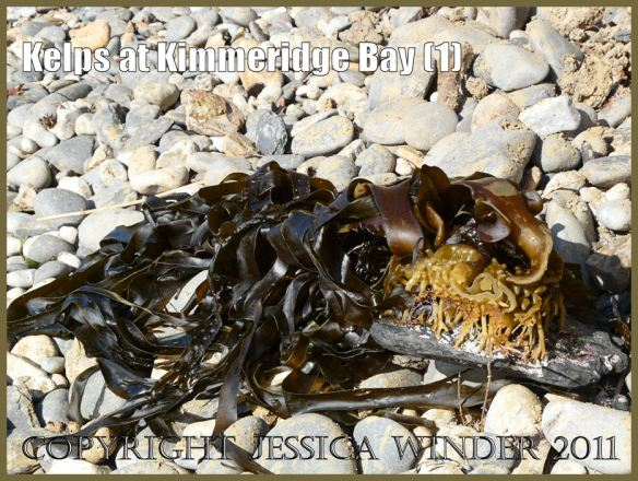 P1050862Blog1 Furbelows, a type of kelp, Latin name Saccorhiza polyschides, still attached by the holdfast to a stone, washed up at Kimmeridge Bay, Dorset, UK on the Jurassic Coast World Heritage Site