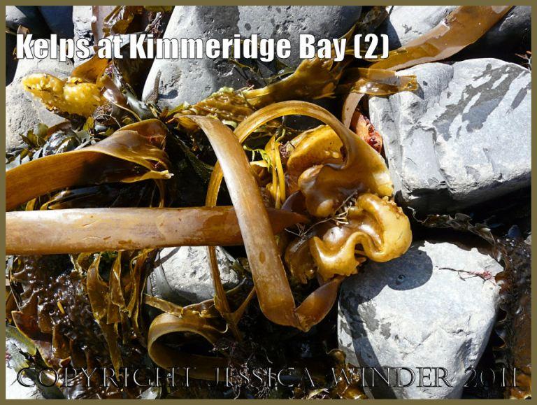 P1050888Blog2 The kelp seaweed known as Furbelows, Latin name Saccorhiza polyschides, washed up on the seashore at Kimmeridge Bay, Dorset, UK on the Jurassic Coast World Heritage Site.