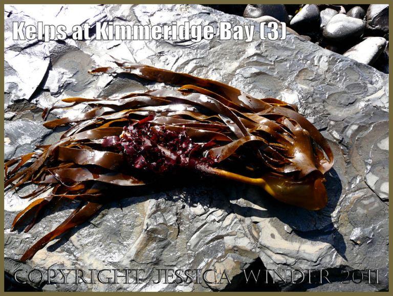 P1050899Blog3 The kelp seaweed known as Cuvie, Latin name Laminaria hyperborea, washed up on the beach at Kimmeridge Bay, Dorset, UK on the Jurassic Coast World Heritage Site
