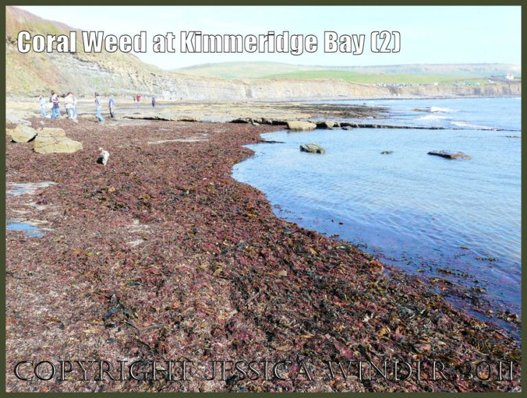 P1060118aBlog2 A raft of mostly red seaweeds, including Coral Weed, washed up at Kimmeridge Bay, Dorset, UK on the Jurassic Coast World Heritage Site (2).