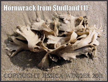 Hornwrack picture: Hornwrack, Flustra foliacea (Linnaeus), a Bryozoan pictured where it washed ashore at Studland Bay, Dorset, UK on the Jurassic Coast World Heritage Site (P1050462aBlog1).