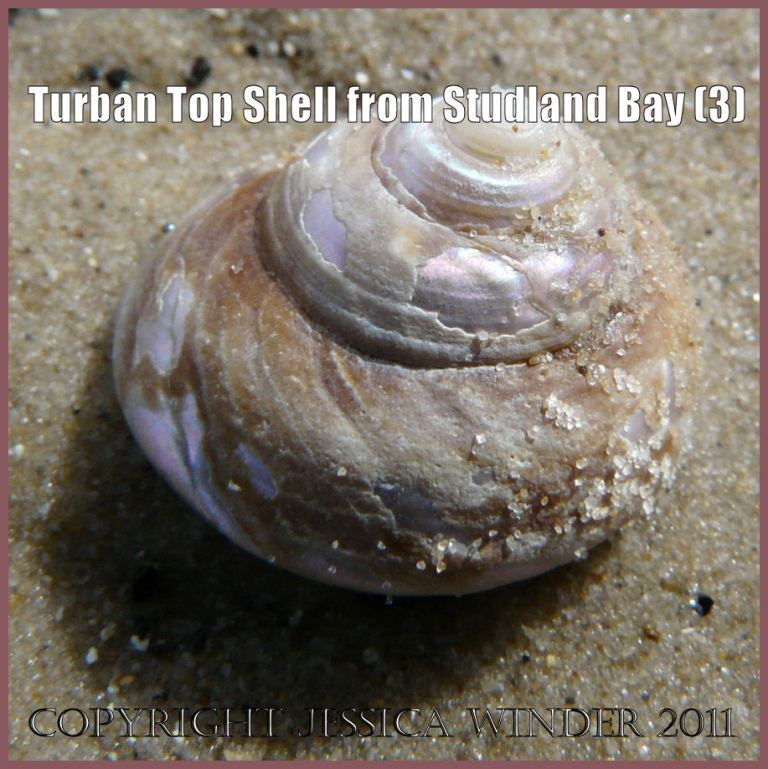 Seashell picture: Empty Turban Top Shell, Gibbula magus (Linnaeus), showing erosion of the outer surface to reveal the inner nacreous layer, found washed ashore on the National Trust owned beach at Studland Bay, Dorset, UK on the Jurassic Coast World Heritage Site (P1060849aBlog3)