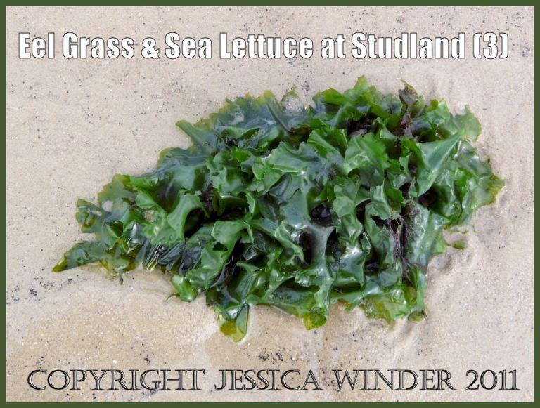Common British seaweed picture: Sea Lettuce, Ulva lactuca Linnaeus, washed up at Studland Bay, Dorset, UK - part of the Jurassic Coast (P1070080Blog3)