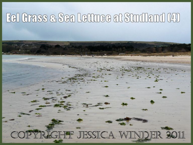 Eel Grass & Sea Lettuce at Studland Bay in spring – Jessica's Nature