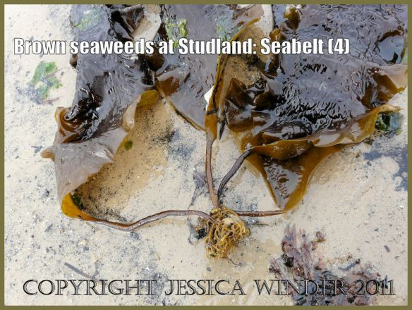 Common British seaweeds photograph: Stems and holdfasts of Sea Belt, Laminaria saccharina (Linnaeus) Lamouroux, washed up on the sandy shore at Studland, Dorset, UK - part of the Jurassic Coast (P1070110Blog4)
