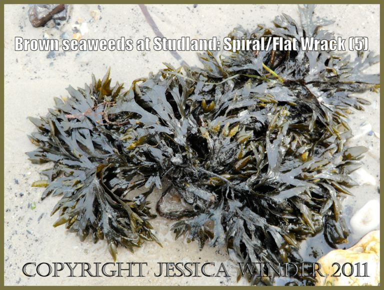 Studland Bay seaweed photograph: Flat or Spiral Wrack, Fucus spiralis Linnaeus, washed up on the sandy shore at Studland Bay, Dorset, UK - part of the Jurassic Coast World Heritage Site (P1070122Blog5)