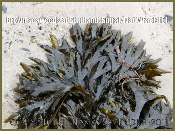 Common British seaweeds photograp: Flat or Spiral Wrack, Fucus spiralis Linnaeus, showing reproductive bodies at frond tips; Studland Bay, Dorset, UK - part of the Jurassic Coast (P1070123Blog6)