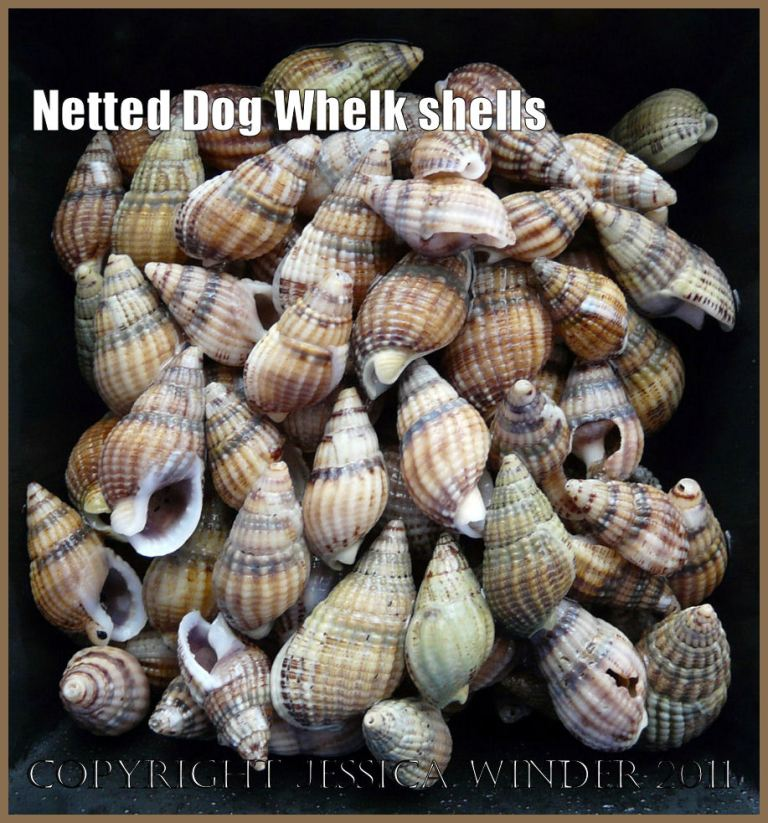 Seashell picture: Netted Dog Whelk shells, Hinia reticulata (Linnaeus), from Studland Bay, Dorset, UK on the Jurassic Coast World Heritage Site - common British seashells (3)