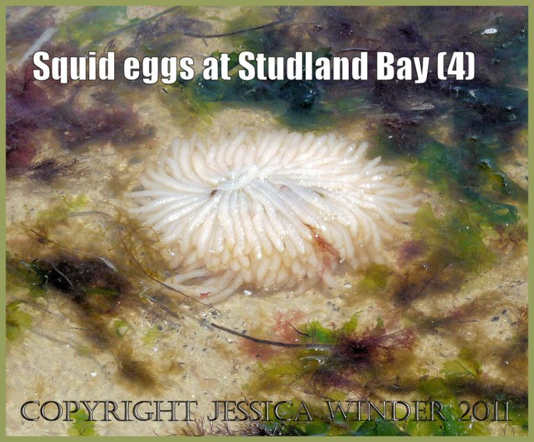 Image of squid eggs: Egg mass of squid, Loligo sp., floating amongst seaweed on the water's edge at the National Trust owned site of Studland Bay, Dorset, UK on the Jurassic Coast World Heritage Site (P1090537aBlog4)