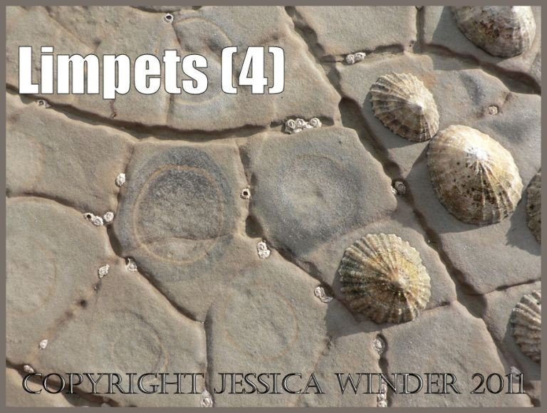 Limpet pictures: Living limpets, and circular depressions worn away by limpet occupancy, among the polygonal cracks on the horizontal intertidal rock pavement at Kimmeridge Bay, Dorset, UK on the Jurassc Coast World Heritage Site (4)