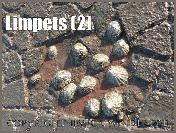 Pictures of limpets: A cluster of living limpets in the relative shelter of a shallow depression in the cracked, eroding and exposed horizontal rock pavement at Kimmeridge Bay, Dorset, UK on the Jurassic Coast World Heritage Site (2)