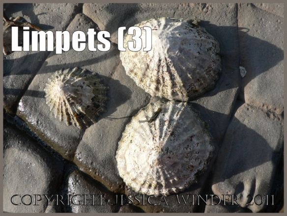 Limpet pictures: Living limpets on the cracked, eroding and exposed horizontal rock pavement at Kimmeridge Bay, Dorset, UK on the Jurassic Coast World Heritage Site (3)