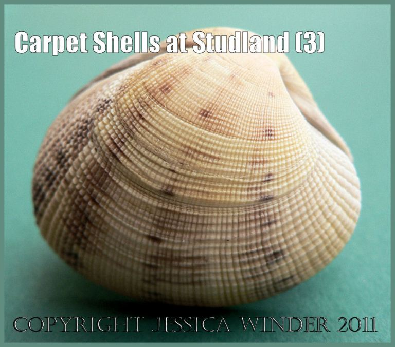 Common British seashell pictures: Chequered Carpet Shell, Tapes decussatus (Linnaeus), washed ashore at Studland Bay, Dorset, UK on the Jurassic Coast World Heritage Site (P1110297aBlog3)