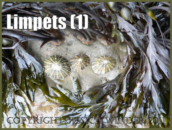 Limpet pictures: Living limpets attached to rock amongst seaweed holdfasts at Ringstead Bay, Dorset, UK on the Jurassic Coast World Heritage Site (1).