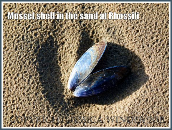 Mussel shell on the sand at Rhossili Bay, Gower, South Wales, UK, 18 March 2011 (6)
