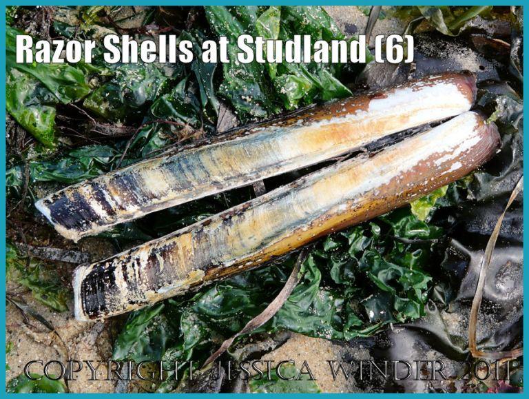 Seashell picture: An empty Pod Razor Shell lying on green seaweed at Studland Bay, Dorset, UK - part of the Jurassic Coast (P1160889bBlog6)