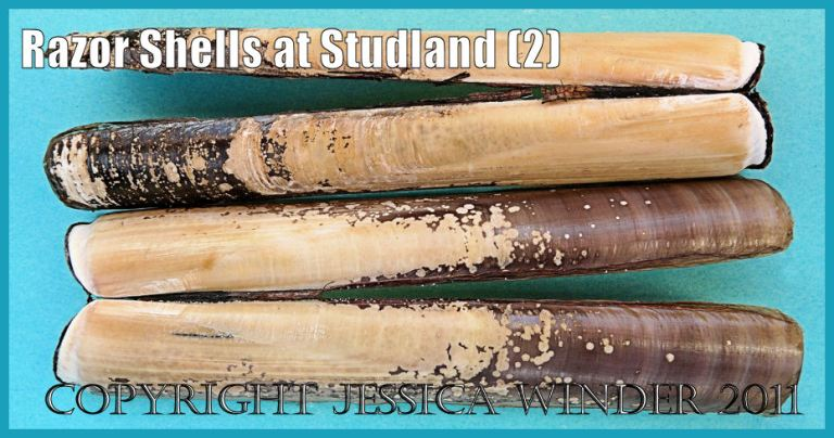 Studland Bay seashells: Grooved Razor Shells, Solen marginatus Montagu, from Studland Bay, Dorset, UK - part of the Jurassic Coast (P1170023aBlog2)