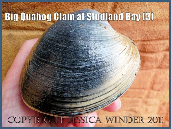 Quahog photograph: A large Quahog clam, an introduced species to Britain, viewed from the right side, at South Beach, Studland Bay, Dorset, UK - part of the Jurassic Coast (3)