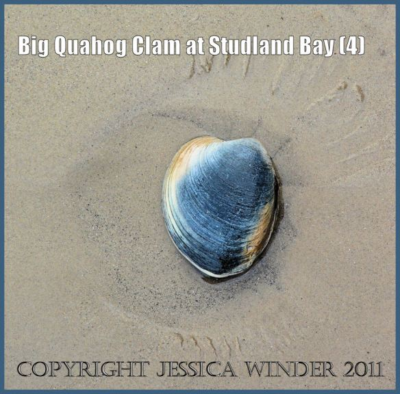 The living Quahog clam as it was found washed up on the sand at South Beach, Studland Bay, Dorset, UK (4)