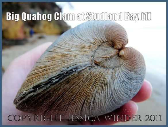 Seashell picture: A large Quahog clam, an introduced species to Britain, viewed from the anterior end and showing the heart-shaped lunule, at South Beach, Studland Bay, Dorset, UK - part of the Jurassic Coast (1)