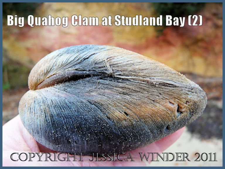 Studland Bay seashells: A large Quahog clam, an introduced species to Britain, viewed from the posterior end and showing the external ligament, at South Beach, Studland Bay, Dorset, UK - part of the Jurassic Coast (2)