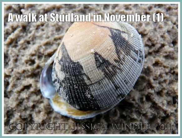 Seashell picture: Manilla Clam with graphic black zig-zag markings, on rain-pocked sand, Studland, Dorset, UK - part of the Jurassic Coast, 27 November 2009 (1)