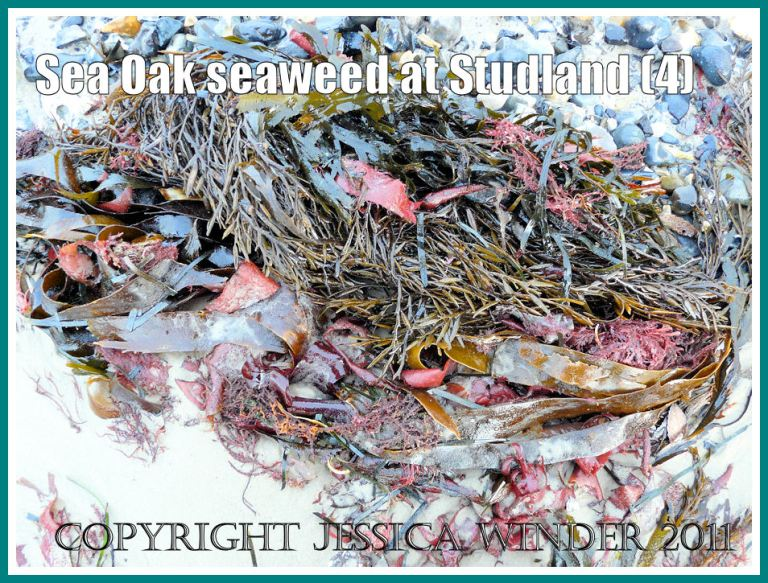 Studland Bay seaweed: Sea Oak seaweed entangled with other brown and red seaweeds on the strandline at Studland Bay, Dorset, UK - part of the Jurassic Coast (4)