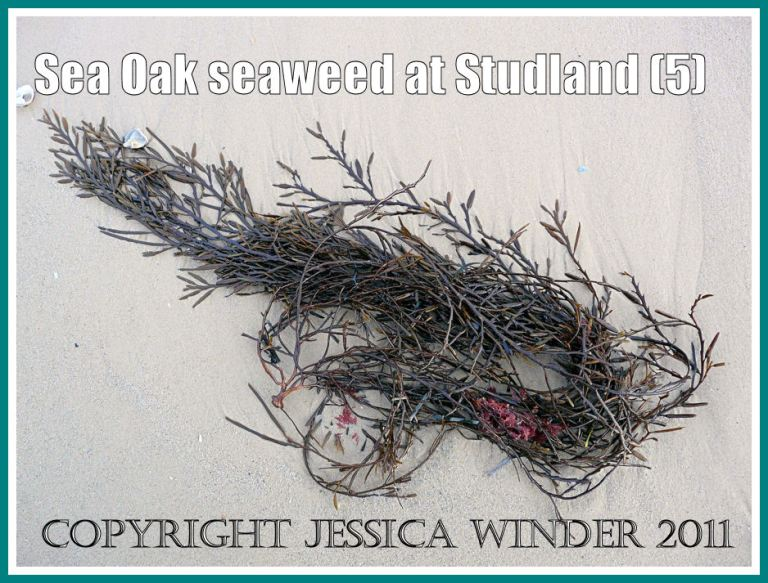 Studland Bay seaweed: Sea Oak seaweed washed up on the wet sand at Studland Bay, Dorset, UK - part of the Jurassic Coast (5)