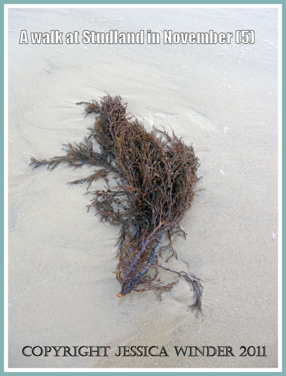 Seaweed picture: Brown seaweed washed up on the wet sand at Knoll Beach, Studland, Dorset, UK - part of the Jurassic Coast, 27 November 2009 (5)