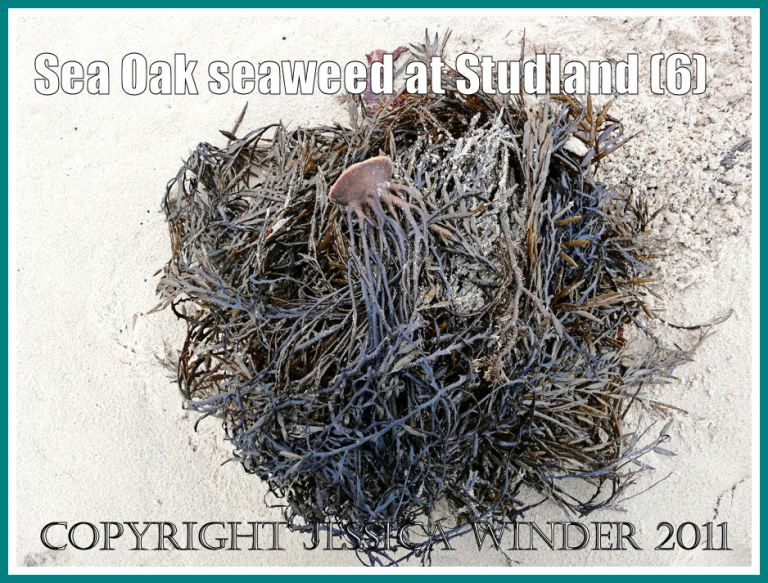Studland Bay seaweed: Sea Oak seaweed in a heap at low tide level on the sandy beach at Studland Bay, Dorset, UK - part of the Jurassic Coast (6)