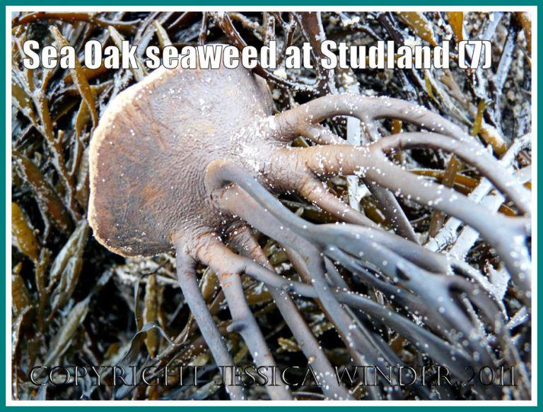 Studland Bay seaweed: Sea Oak seaweed holdfast at Studland Bay, Dorset, UK - part of the Jurassic Coast (7)