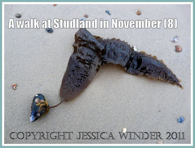 Seaweed picture: Sea Belt brown seaweed attached to a living Common Mussel on wet sand at Knoll Beach, Studland, Dorset, UK - part of the Jurassic Coast - 27 November 2009 (8)