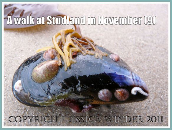 Mussel shell picture: A living Common Mussel with the holdfast of a Sea Belt seaweed attached to the shell, washed ashore at Knoll Beach, Studland, Dorset, UK - part of the Jurassic Coast, 27 November 2009 (9)