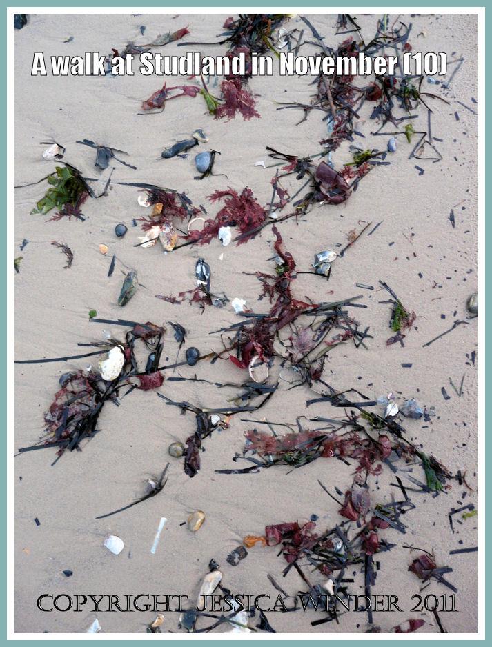 Strandline picture: Seaweed and shells on the new wet sandy strandline at Knoll Beach, Studland, Dorset, UK - part of the Jurassic Coast - 27 November 2009 (10)