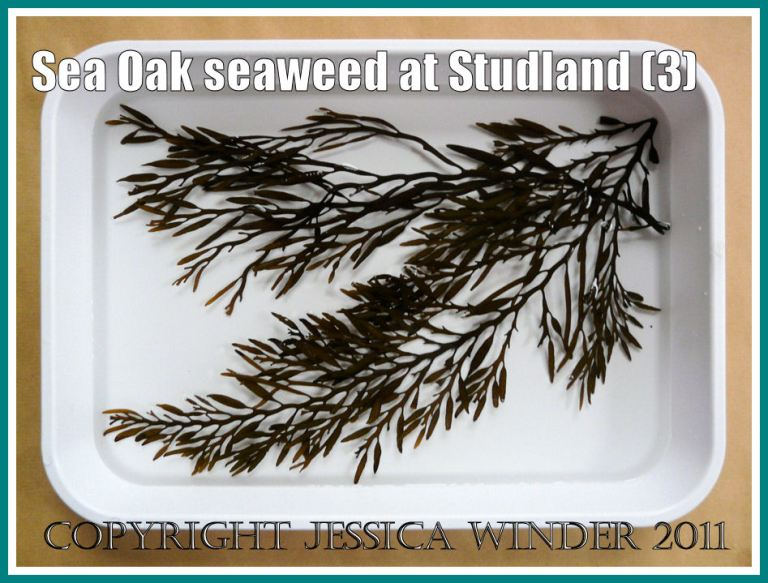 Studland Bay seaweed: Sea Oak seaweed floating in a plastic dish of water to display the various parts for identification purposes. From Studland Bay, Dorset, UK - part of the Jurassic Coast (3)