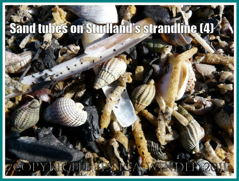 Strandline at Studland Bay: Detail of the strandline showing sand tubes from marine worms, empty Razor Shells, Netted Whelks, and water-worn coal, at Studland Bay, Dorset, UK - part of the Jurassic Coast (4)