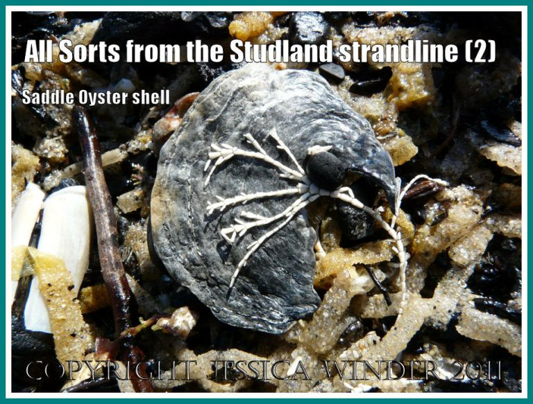 Saddle Oyster shell: A burial-blackened Saddle Oyster shell with a white frond of dead Coral Weed on the strandline at Studland Bay, Dorset, UK - part of the Jurassic Coast (2)
